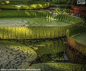 Układanka Świetne lilii wodnych