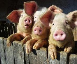 Układanka Świnia domowa