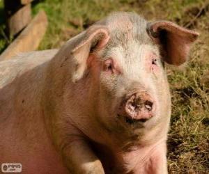 Układanka Świnia
