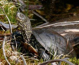 Układanka Żółw błotny
