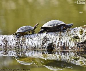 Układanka Żółw malowany