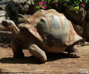 Układanka Żółw pustynny