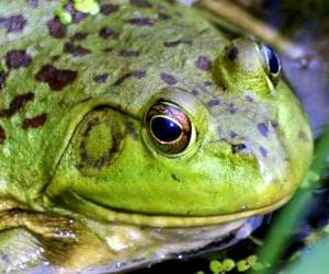 Układanka Żaba