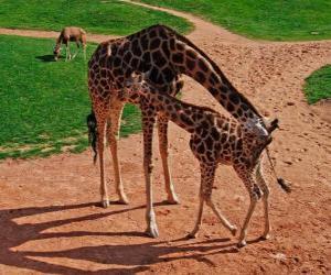 Układanka Żyrafa dorosłych i dziecko żyrafa