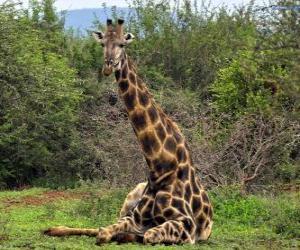 Układanka Żyrafa odłogowanie