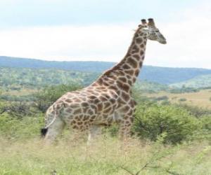 Układanka Żyrafa, patrząc na krajobraz