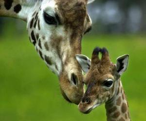 Układanka Żyrafa z dzieckiem