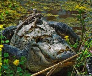 Układanka aligator amerykański, jeden z największych krokodyli w obu Amerykach, gatunków chronionych w USA
