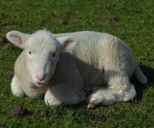 Układanka Baranek, owiec niemowląt i wypasu owiec