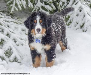 Układanka Berneński pies pasterski szczeniak
