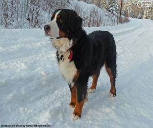 Układanka Berneński pies pasterski