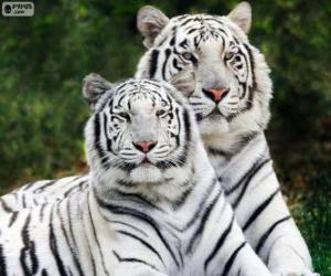 Układanka Biały Bengal Tigers