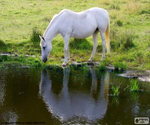 Układanka Biały koń, picie