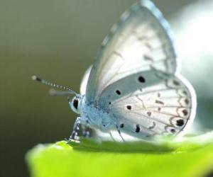 Układanka Biały motyl