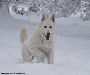 Układanka Biały owczarek szwajcarski