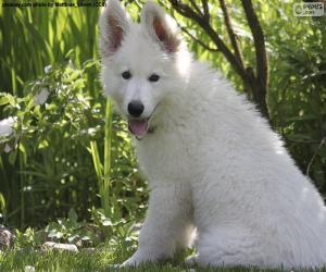 Układanka Biały szwajcarski owczarek pies szczeniak