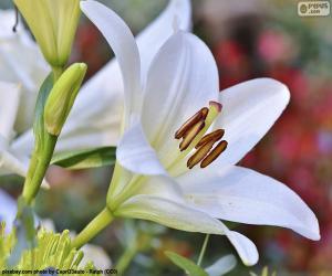 Układanka Białych lilii azjatyckich