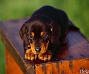 Układanka Black and Tan Coonhound szczeniak