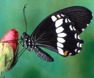 Układanka Black Butterfly
