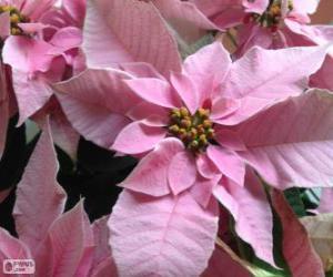 Układanka Boże Narodzenie kwiat, różowy