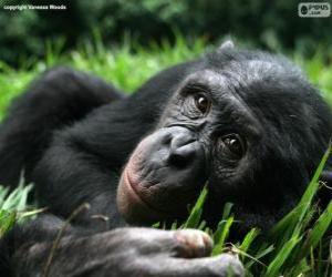Układanka Bonobo lub szympans karłowaty
