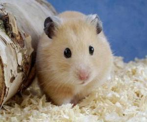 Układanka Chomik, gryzonie używane jako zwierzęta domowe i zwierzęta laboratoryjne