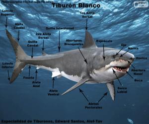 Układanka Części żarłacza białego