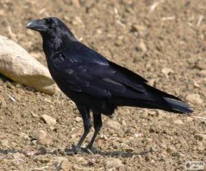 Układanka Czarnowron, wrona czarna, wroniec
