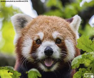 Układanka Czerwona Pandka ruda