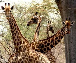Układanka Cztery żyrafy