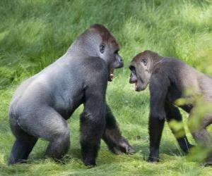 Układanka Dwóch młodych goryle chodzenie na czworakach
