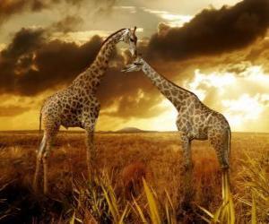 Układanka Dwa Żyrafy at dusk