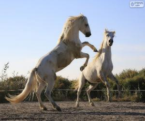 Układanka Dwa białe konie