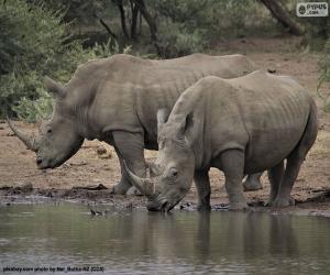 Układanka Dwa duże białe nosorożce