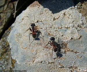 Układanka Dwa mrówki