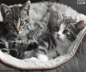 Układanka Dwa słodkie kociaki