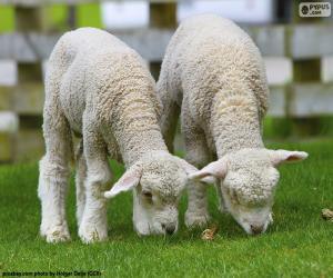 Układanka Dwie delikatne owce
