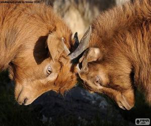 Układanka Dwie kozy walki