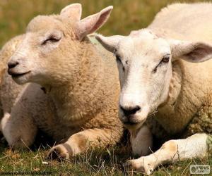Układanka Dwie owce