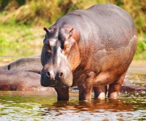 Układanka Dziki hipopotam