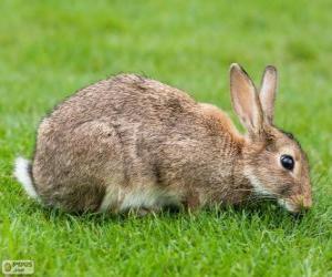 Układanka Dziki królik