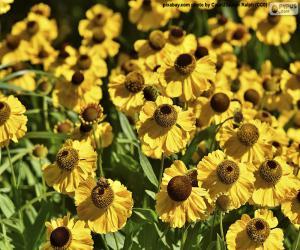 Układanka Echinacea Kwiaty