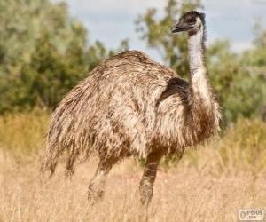 Układanka Emu drugim największym ptakiem