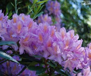 Układanka Fioletowe kwiaty Azalia
