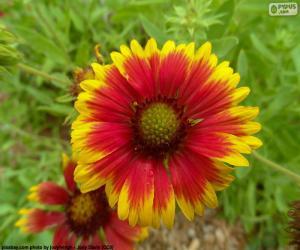 Układanka Flor Gaillardia pulchella