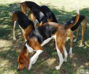 Układanka Foxhound amerykański