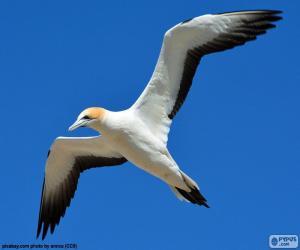 Układanka Głuptak zwyczajny, latający