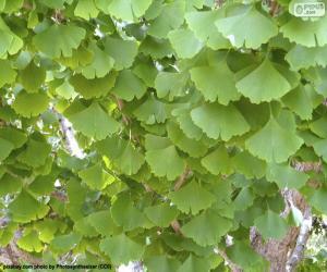 Układanka Ginkgo biloba liście