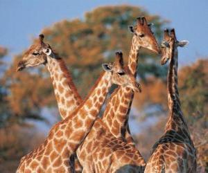 Układanka Grupa czterech żyrafa