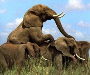 Układanka Grupa słoni, duże zęby